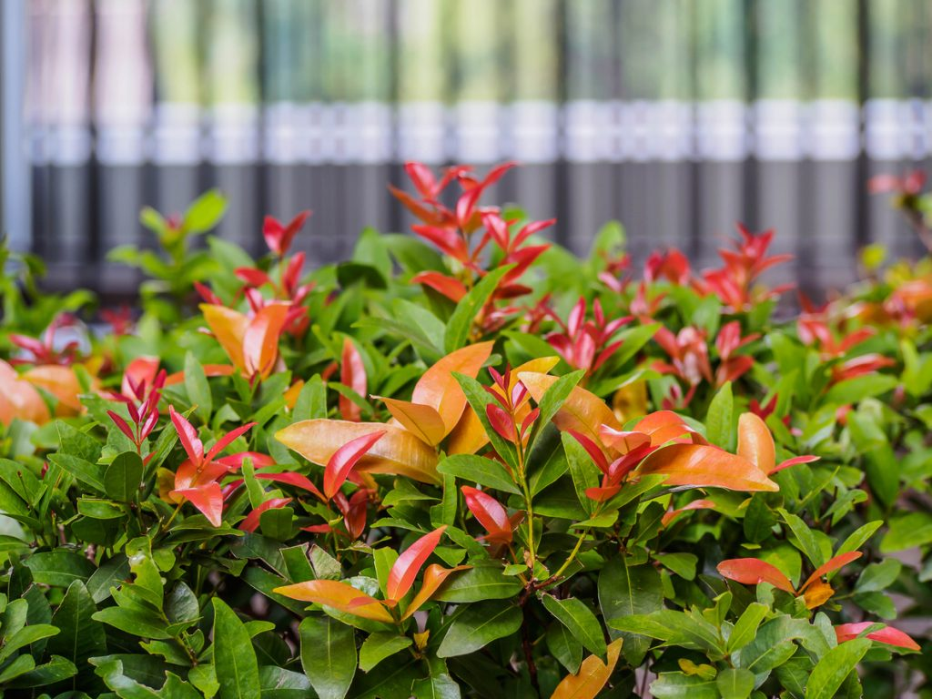 selective focus for Syzygium australe on blurred background